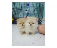 Ketty and perry are our two beautiful and lovely Pomeranian puppies