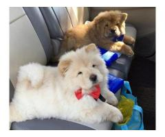 Beautiful male and female pomeranian puppies for sale