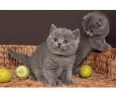 Well Train Male And Female British Shorthair Kittens For Sale