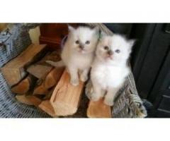 Ragdolls kittens available for sale