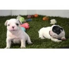 Amazing French bulldog Puppies for sale