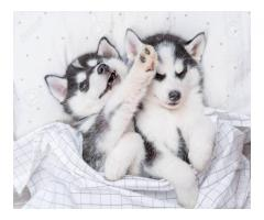 Two Husky puppies for your home