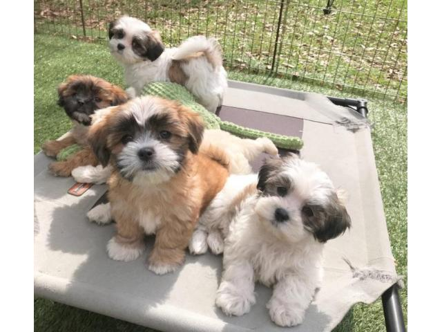 Beautiful Maltipoo Puppies