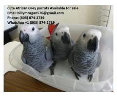 3 cute African Grey Parrot for sale (805) 874-2739