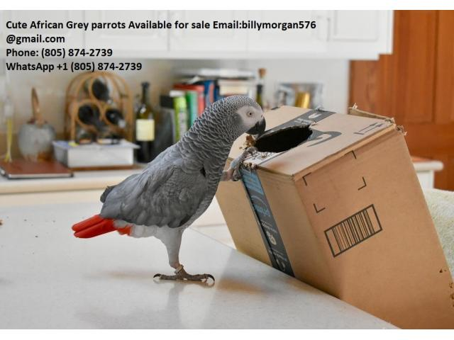 Healthy Cute African Grey Parrots With Cage