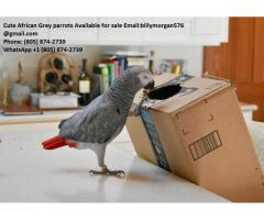 Hand Raised African Grey parrot Babies for Sale +1(805) 874-2739