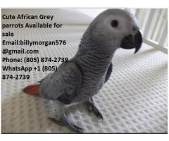 Congo African Grey Parrot for sale (805) 874-2739