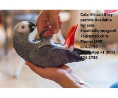 Home Raised African Grey Parrot (805) 874-2739