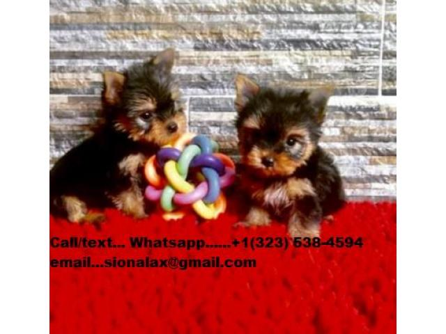 Cachorros yorkshire terriers