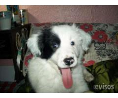 Se Vende Border collie impecable
