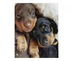 Charming dachshund Puppies ready for new homes