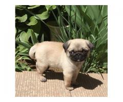 amazing pug puppies for sale