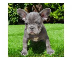 Adorables cachorros de bulldogs franceses disponibles.