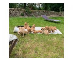 golden retriever puppies for sale.