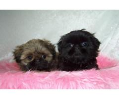 Darling Shih Tzu Puppies for sale
