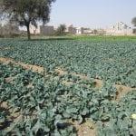 Vegetables 022