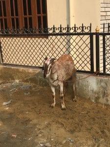 The sacrificial goat