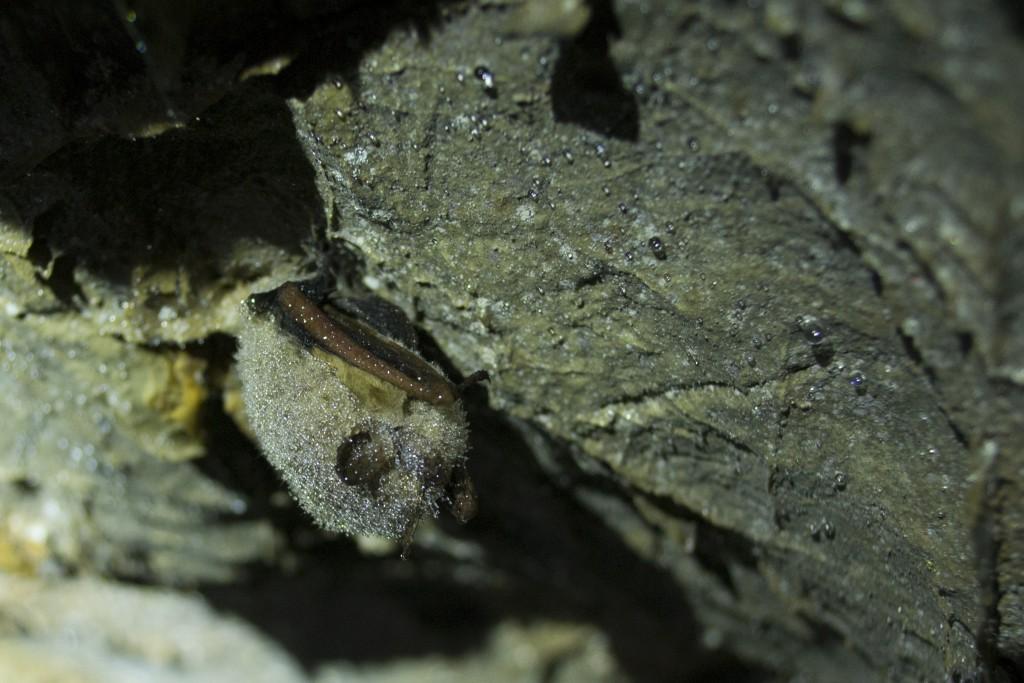 White River Cave near Rockmart Georgia perimyotis myotis bats spelunking caving underground Kyle Gabriel