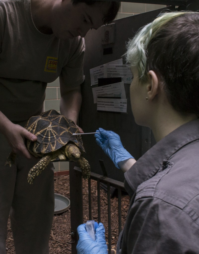 Cami Rose swabbing an Indian star tortoise, Photo by Kyle Gabriel