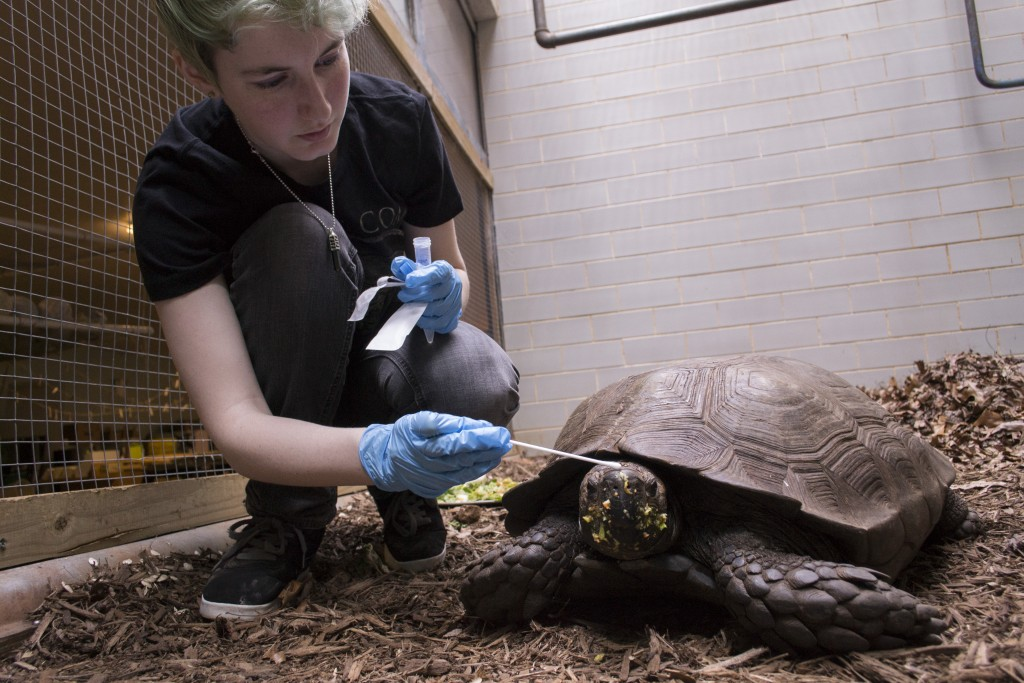Cami Rose swabbing a Burmese mountain tortoise, Photo by Kyle Gabriel