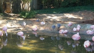 Flamingos, the gray fuzzy ones are the babies.