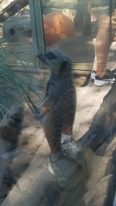 A meercat standing on a log.