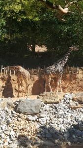 The giraffe on the right is the oldest at Zoo Atlanta. Also, my favorite animal.