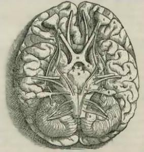 brainBottomView01