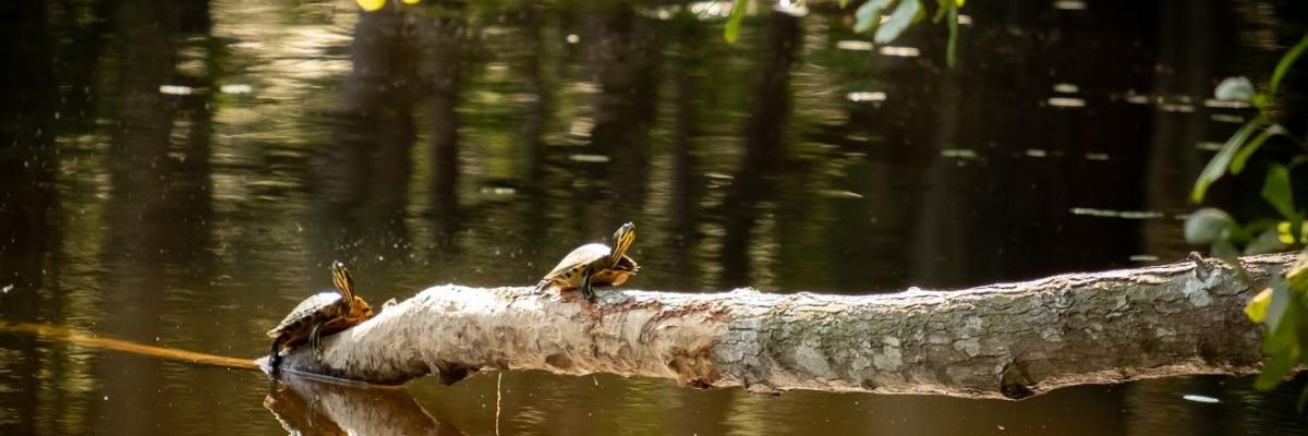 Turtles basking in the sun on a log on top of the park's pond
