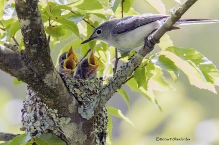 blue-gray gnatcatcher with nest