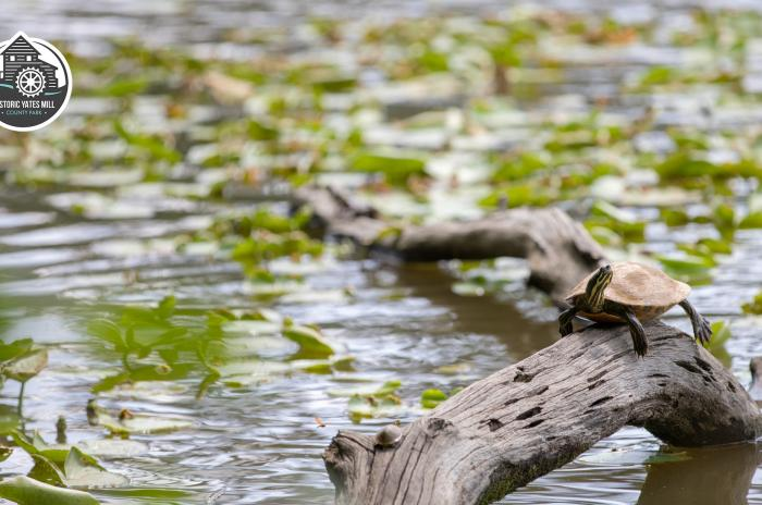 turtle on long in pond