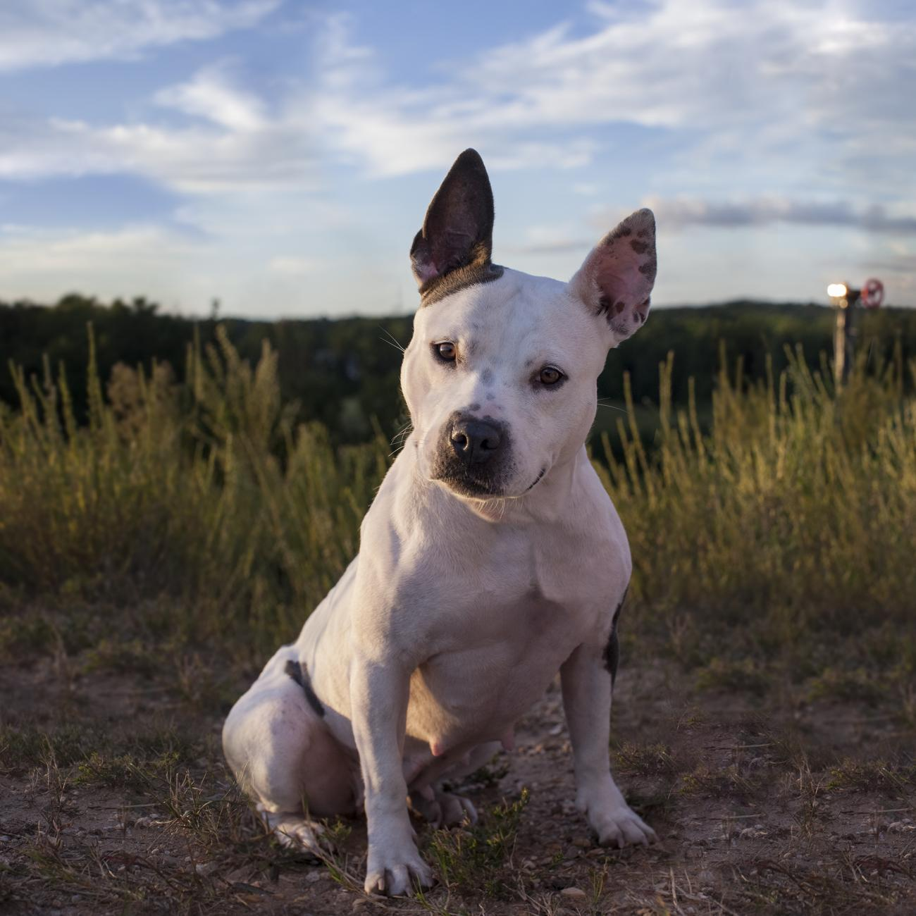 White dog in field with head tilted