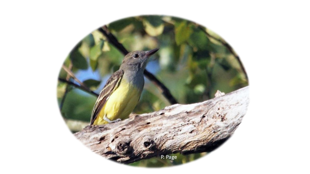 Grey and yellow bird perches with trees in background