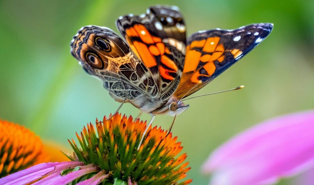 orange, black and white butterfly sits on top of a purple coneflower