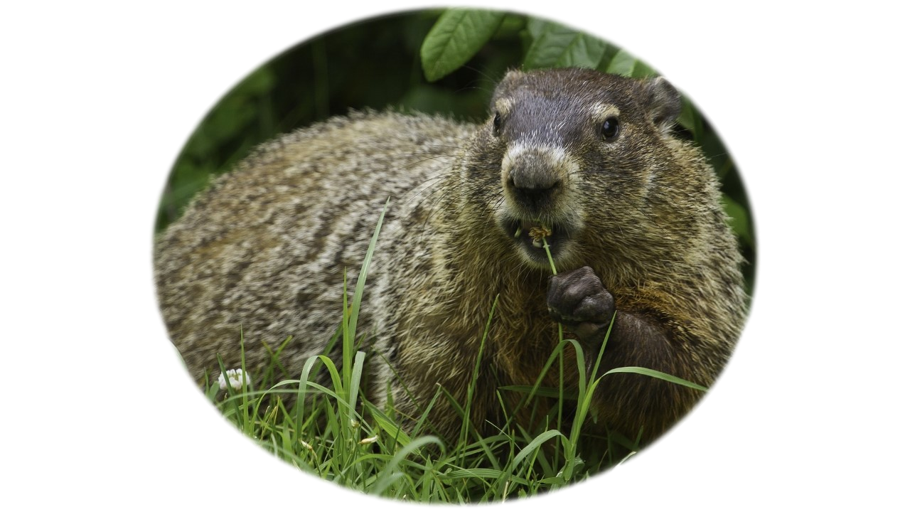 Groundhog sitting in the grass looking at camera showing teeth