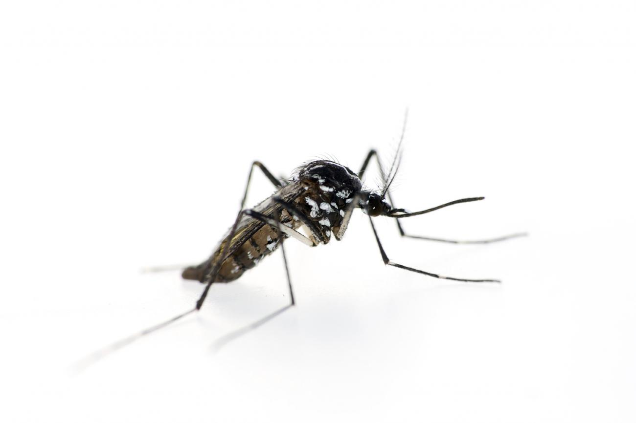 Zoomed in photo of a mosquito