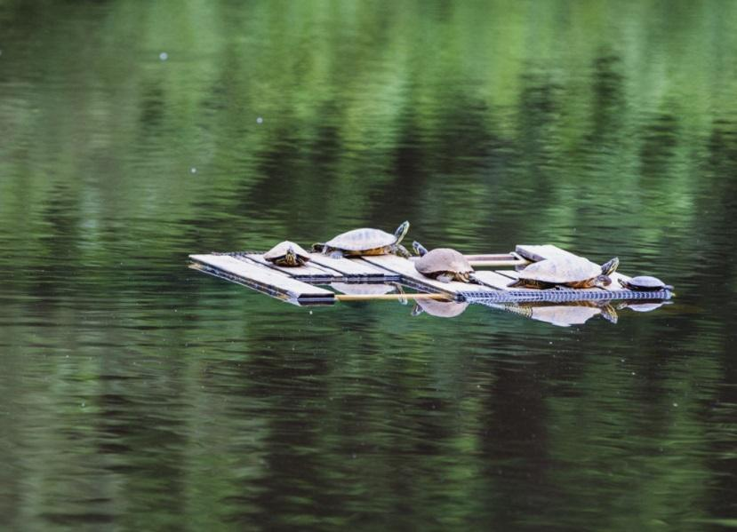 Group of aquatic turtles sit on wooden basking platform in middle of pond