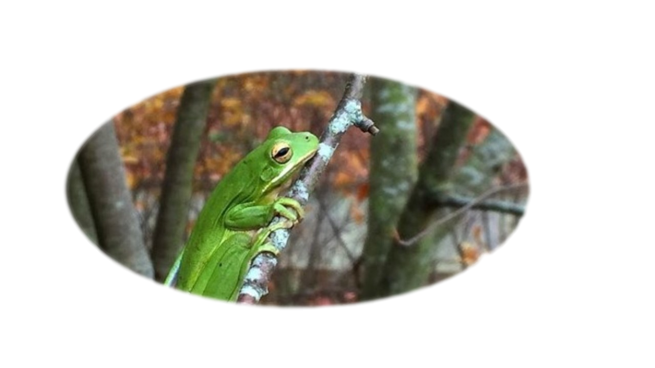 Green tree frog sits on reed near ponds edge