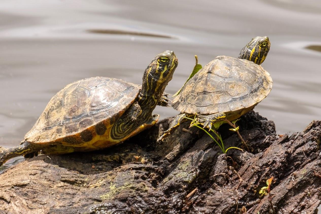 Two baby slider turtles  lay on rocks down in the stream