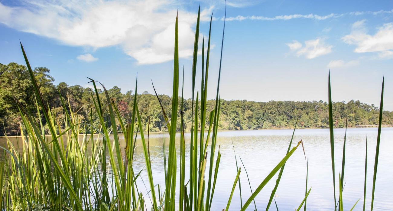 pond with light blue sky with puffy white clouds and green reeds in front and trees around ponds edge