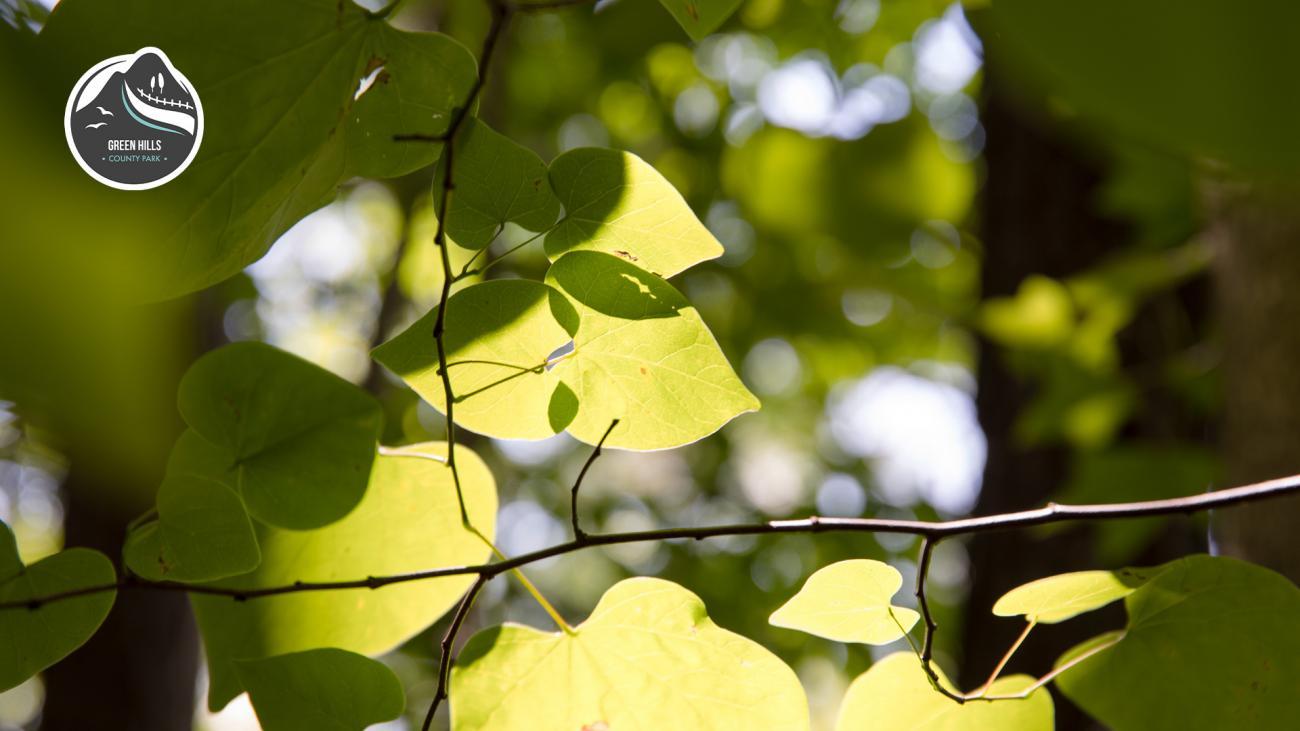 Sunlight filtered through green redbud leaves.