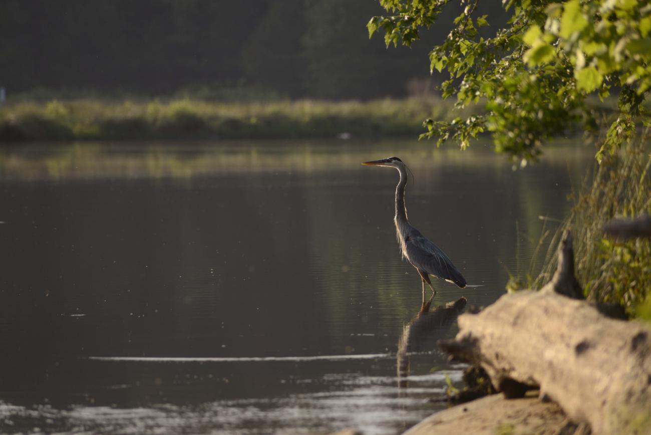 Blue Heron near lake shore