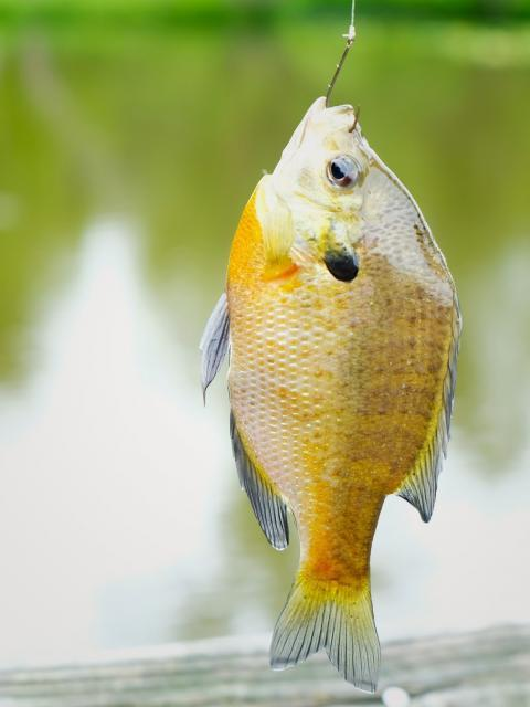 bluegill fish with hook in it's mouth with pond in background