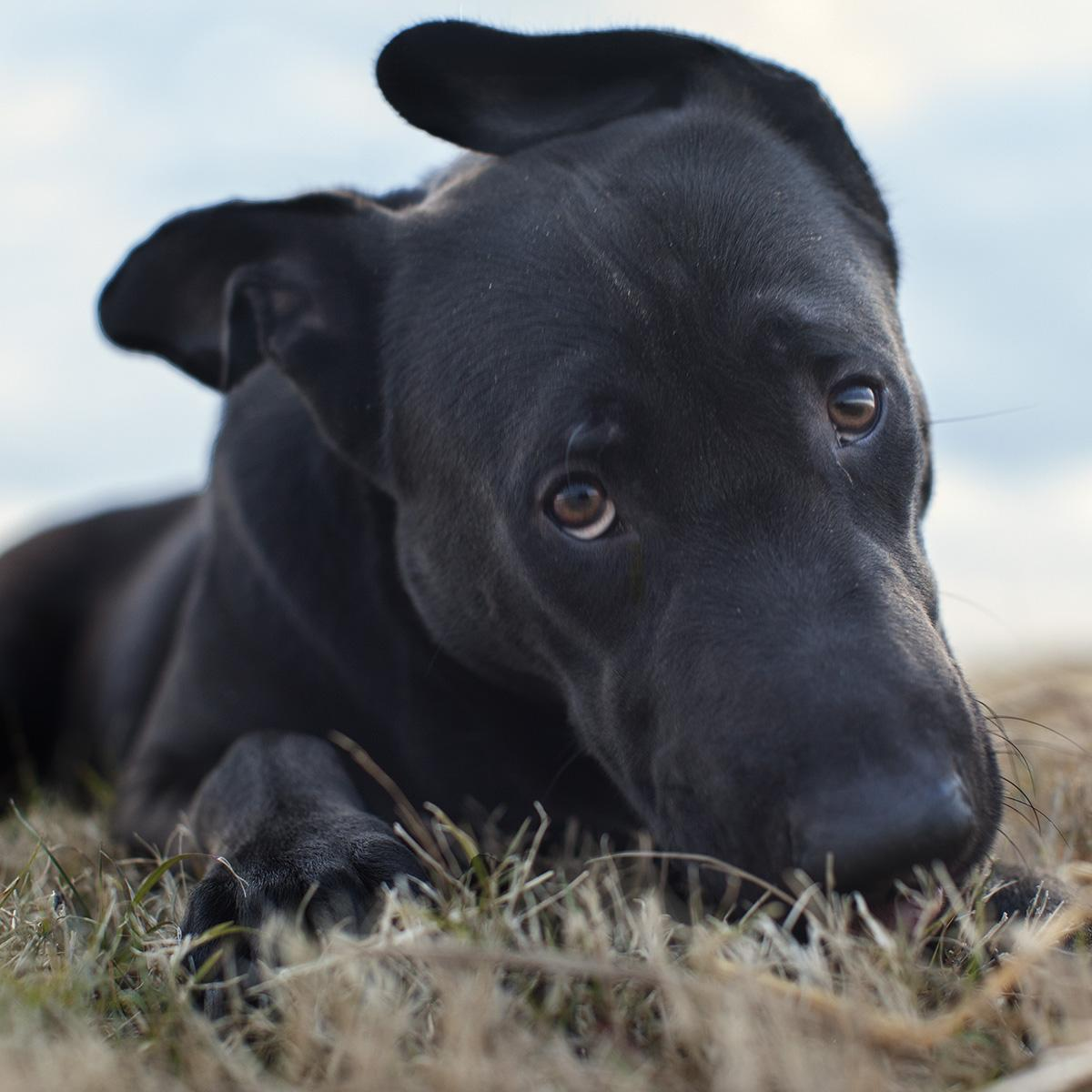 Black dog laying in field