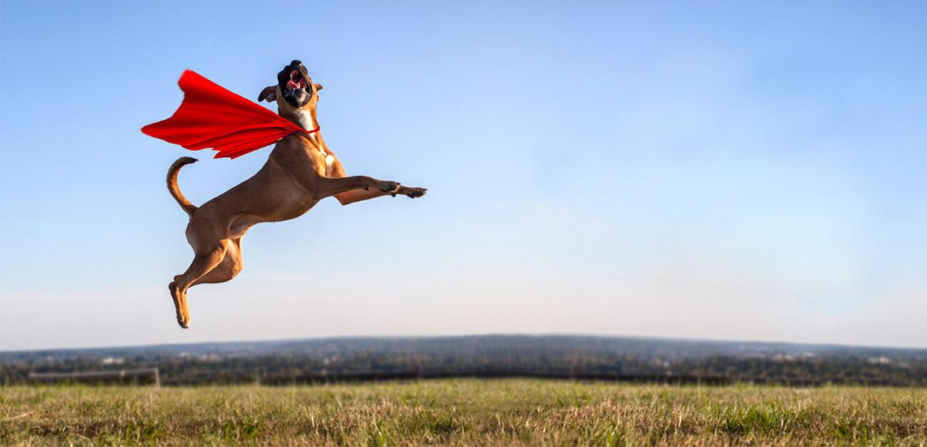 Dog wearing cape jumping in the air