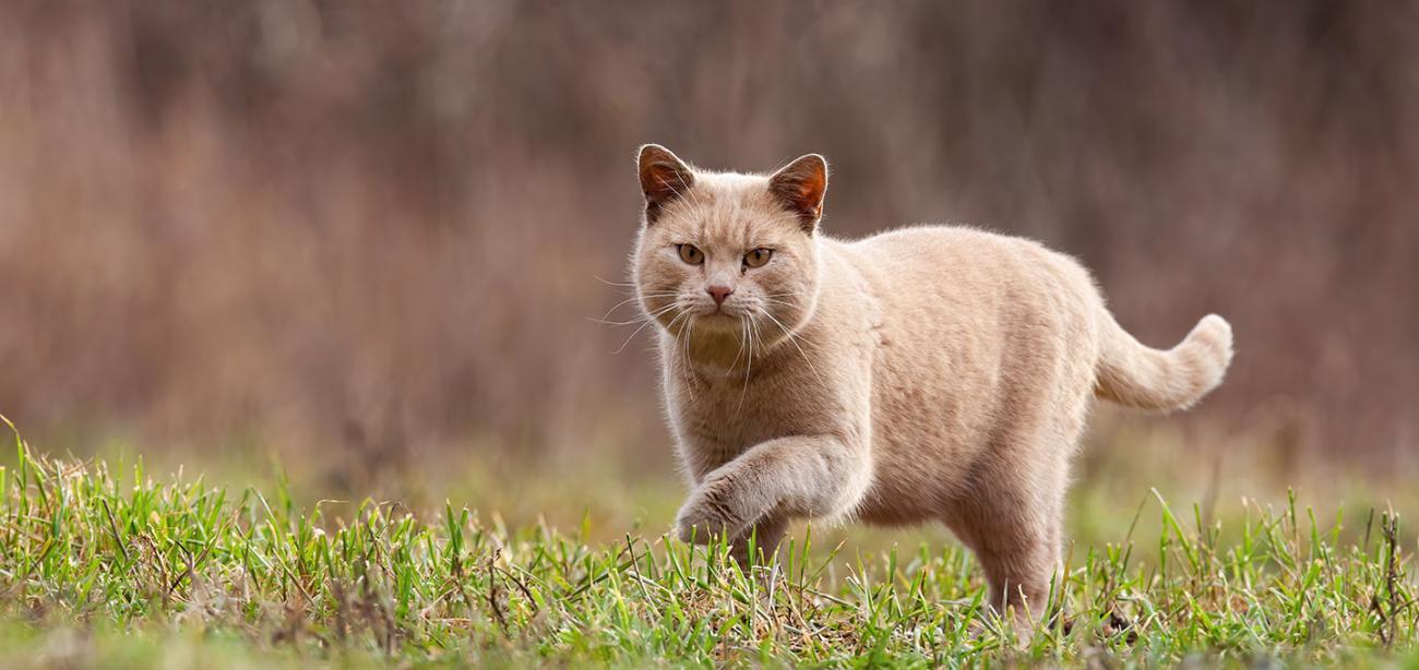 Ferrel cat stalking prey