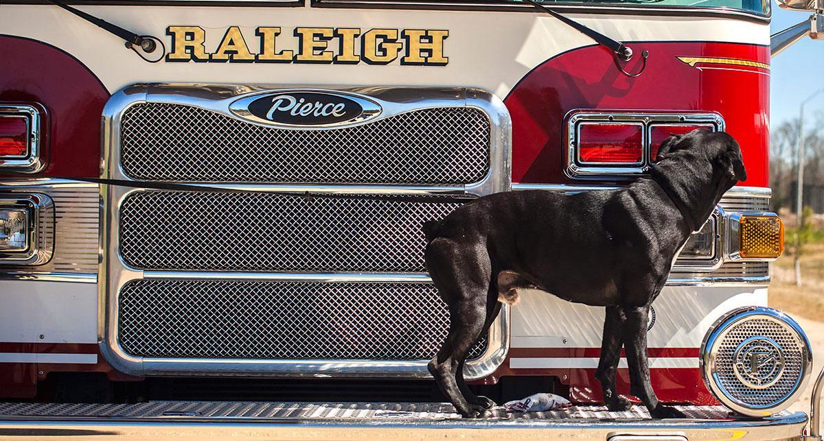 Dog standing on bumper of Raleigh firetruck