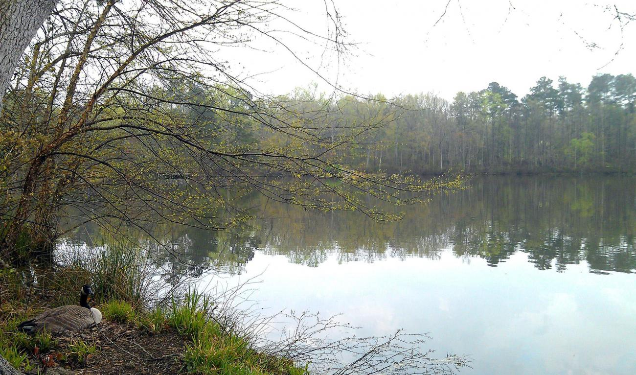 Yates Mill Pond with Goose in Spring