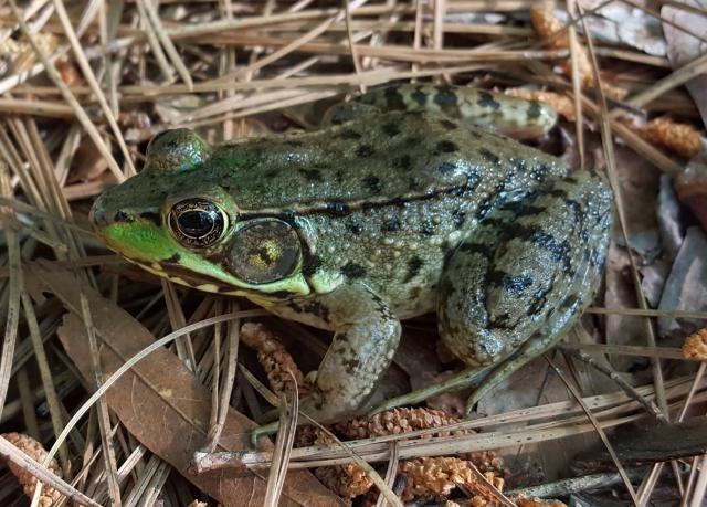 Photo of a Green Frog at Harris Lake County Park