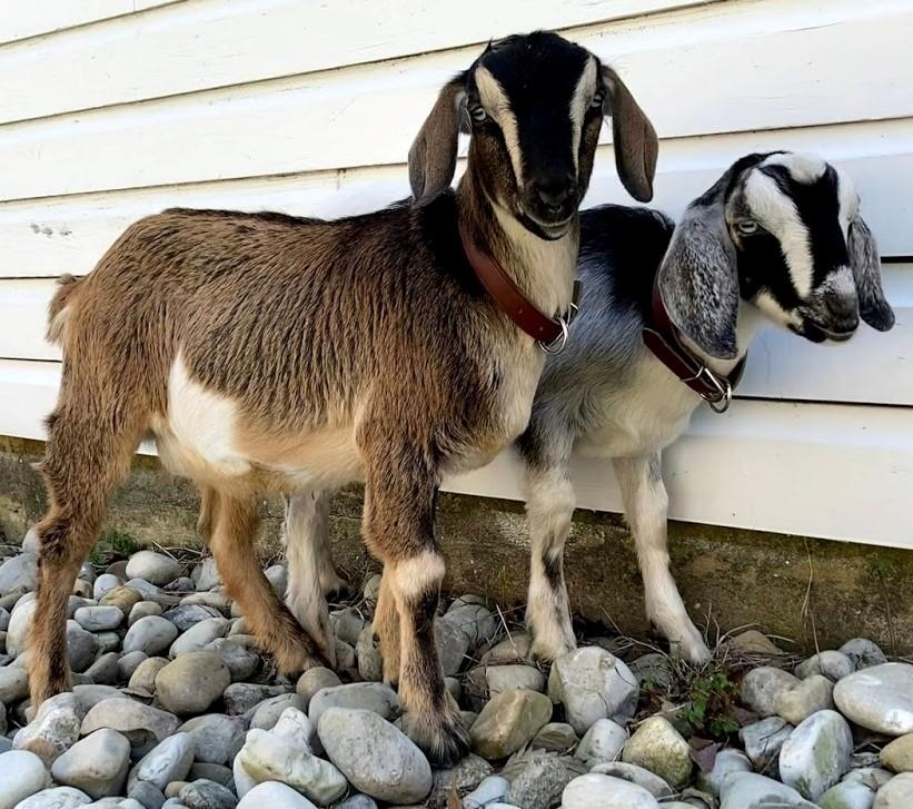 Oak View's mini Nubian goat named Henry
